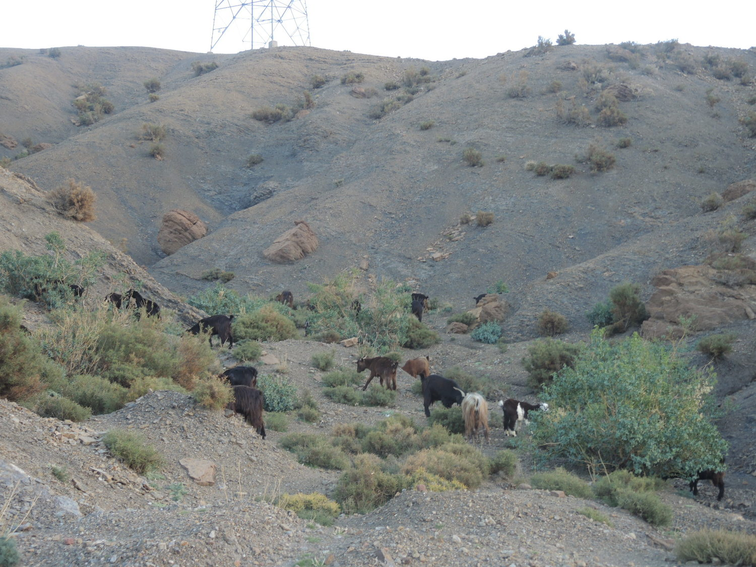 Goats in Atlas Mountains