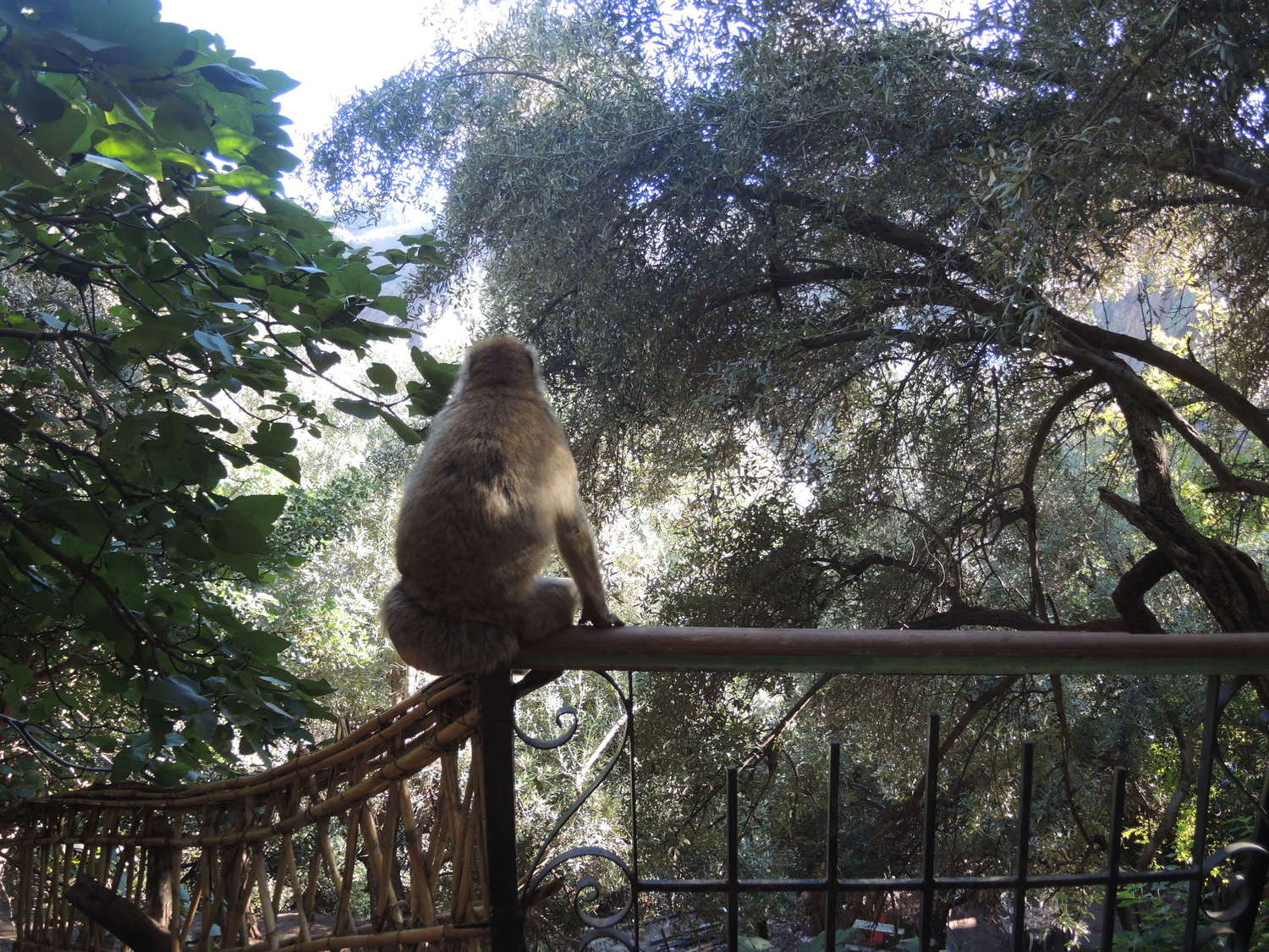 Wild but socializing monkeys in the Atlas Mountains