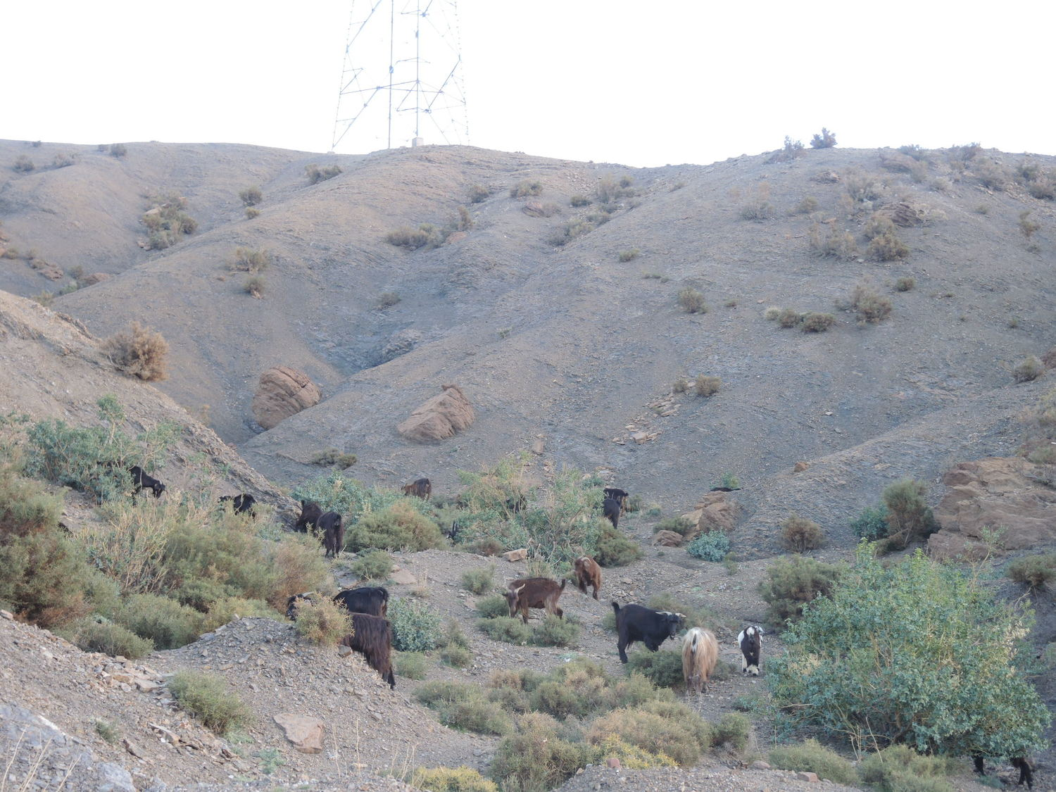 Wild goats in the Atlas Mountains